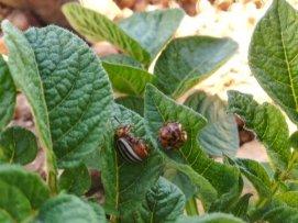 escarabajo_adulto[1]